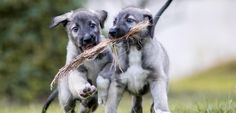 EXCEPTIONNEL. Une chienne donne naissance à deux vrais jumeaux