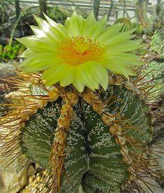 """""""Astrophytum capricorne"""".. Es una especiefanerógama perteneciente a la familia de las cactáceas... Es natural de México, donde habitualmente crece en terrenos rocosos.. Es un cactus globoso, alcanza un tamaño de 10 a 15 cm de altura y de 10 a 15 cm de diámetro, presenta 7-8 costillas pronunciadas con espinas largas y flexibles, las cuales suelen curvarse sobre la planta. Sus flores son grandes (aproximadamente 6 cm de diámetro), de color amarillo brillante con el centro rojo..."""