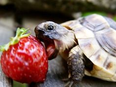 Turtle Sale Photo Gallery - Tortoises/Picture 4 of baby greek tortoise for sale from turtlesale