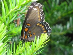 a Red-Spotted Purple Butterfly