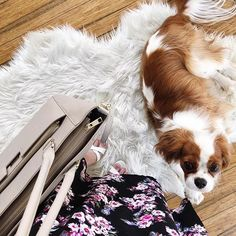 Find Out More On Playfull Cavalier King Charles Spaniel Health Spaniel Puppies For Sale, Cocker Spaniel, King Charles Spaniel, Cavalier King Charles, English Spaniel, Puppy Facts, Sleeping Puppies, Puppy Care, Dog Cat
