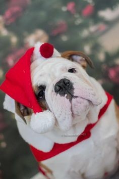 Christmas bulldog! ( altough he doesn't look to excited :p )
