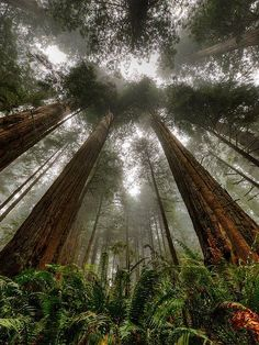 A grove of giant redwood or sequoias should be kept just as we keep a great and beautiful cathedral. ~ Theodore Roosevelt ~ Image, Coast Redwood (Sequoia sempervirens) by Ed Post Oh The Places You'll Go, Places To Travel, Places To Visit, Travel Destinations, State Parks, Beautiful World, Beautiful Places, Belle Photo, The Great Outdoors
