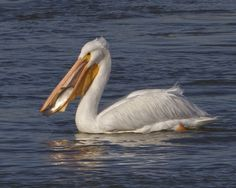 How An American White Pelican Scoops Fish #4