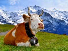 Swiss cow and cow bell. Love Switzerland.