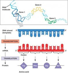 What is the difference between tRNA and mRNA? How does a cell make only the proteins it needs?These questions are answered as we  explore the stages protein synthesis - the process of Protein Production.