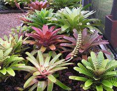 Bromeliads in Australia - Bromeliads XIII