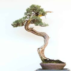Finding the center – moving a Western juniper to the middle of the pot