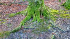 Mossy roots. Denmark