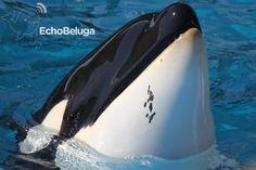 Orcas Seaworld, Throughout The World, Sea World, Dolphins, Calves, Whale, Park, Animals, Men's