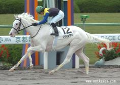 This is a Dominant White Thoroughbred race horse, named Yuki Chan. The horse is the biological half-sister of Buchiko. Cute Horses, Beautiful Horses, Animals Beautiful, Pretty Horses, Horse Coat Colors, American Quarter Horse, Sport Of Kings, Thoroughbred Horse, Horse Breeds