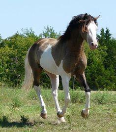 MEMC Morgans Junior Stallions - Quality Colorful Morgan Stallions ~ Cremello, Palomino, Buckskin, Pinto, Splash and Sabino!
