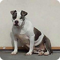 Tappahannock, VA - American Bulldog Mix. Meet Holly a Dog for Adoption. $25.00 Fee URGENT