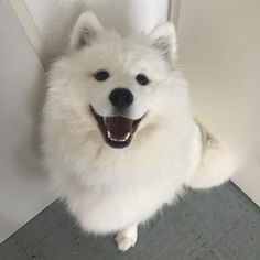 samoyed dogs 14 Pictures Of Samoyeds Just Being Their Perfect Selves Cute Baby Dogs, Cute Puppies, Dogs And Puppies, Cute Fluffy Dogs, Doggies, Baby Animals, Cute Animals, Maya, Samoyed Dogs