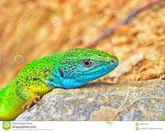 lagarto verde azulado - Buscar con Google