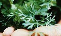 """Bylinky– """"manuál pro čarodějnice"""" - Vitalia.cz Food And Drink, Herbs, Gardening, Plants, Syrup, Garten, Herb, Lawn And Garden, Planters"""