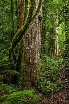Interior de floresta - Trilha para o Pico Camapuã - Parque Estadual Pico Paraná - Campina Grande do Sul - Serra do Mar - PR