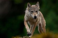 A Coastal Wolf, photographed in the Great Bear Rainforest, BC, Canada by Joe Rils - Pixdaus