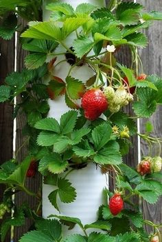 PVC Strawberry Planter-from hardware store pipe... could make a living roped edging to paths with this