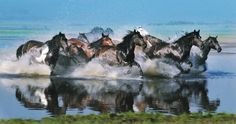 Photo taken on Sept. 12, 2013 shows horses wading into a river in Xilingol of North China's Inner Mongolia Autonomous Region. More beautiful photos of these horses in http://www.globaltimes.cn/content/840093.shtml
