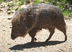 Ten extinct animals that have been rediscovered - Chacoan Peccary