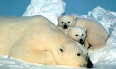 Test your knowledge of polar bears - quiz  To mark international polar bear day, put your knowledge of the species to the test