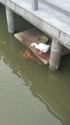 Duck feeding fishes Looking for some funny memes, hilarious funny memes that would make you laugh. Checkout some of recent funny memes videos that you can't stop laughing after watching it. This funny memes can't stop laughing puns would make your day. Funny Duck, Funny Animal Memes, Cute Funny Animals, Funny Fish, Animal Humor, Memes Humor, Funny Memes, Memes Spongebob, Video Humour