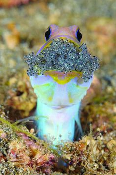 its spawn : Jawfish protecting its spawnJawfish protecting its spawn : Jawfish protecting its spawn Father Figures of the Oceans Underwater Creatures, Underwater Life, Underwater Photos, Beneath The Sea, Under The Sea, Beautiful Creatures, Animals Beautiful, Fauna Marina, Photo Animaliere