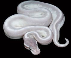 Phantom Potion Ball Python. This should be in my wishlist too. Purple, white striped, high end morph, Python Regius, snake, exotic animal, reptile