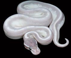 ball python. So striking.