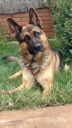 A short guide to the most popular bulldog breeds German Sheperd Dogs, German Shepherd Pictures, German Shepherds, Shepherd Dogs, Bulldog Breeds, Pet Breeds, West Highland Terrier, Cute Dogs And Puppies, Corgi Puppies