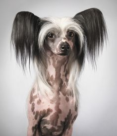 "Pictured: Chinese crested dog (name: Tia). These dogs have nothing to do with China but got their name by association with Chinese immigrants into America in the 19th century, among whom they were popular. They probably came from Mexico. Dogs' internal temperature is higher than humans' and these dogs were supposedly used as handwarmers, hence the hairlessness which was encouraged through selective breeding (there is also a ""powder puff"" form with lots of hair)."