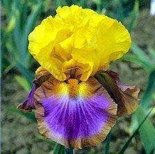 Iris 'Megabucks'