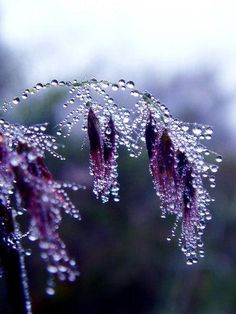 Crystalline droplets formed in the cool  morning...  my mom's favorite color !
