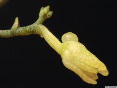 Taeniophyllum retrospiculatum
