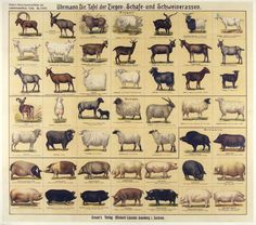 Description: board of goat, sheep, and pig breedsgraser's scientific and agricultural boards graser's publishing house