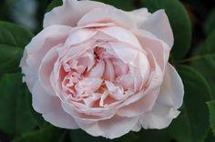 'St. Cecilia' - Austin (1987). Zachtroze gevulde bloemen (8cm). Sterke mirregeur. 90cm x 75cm.
