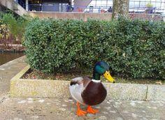 Mallard Duck at University of Bath