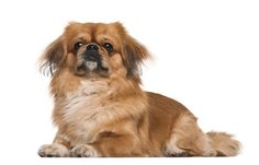 Help your Pekingese De-Stress.     http://www.pekinews.com/how-to-calm-dog-anxiety-ways-to-de-stress-your-pekingese/