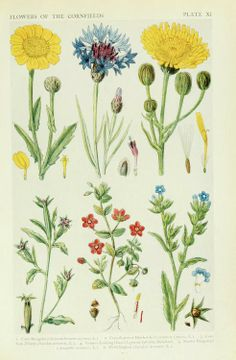 Flowers of the Cornfields. Plate taken from 'A New British Flora; British Wild Flowers in Their Natural Haunts' (1919) by Arthur Reginald Horwood and John Nugent Fitch.