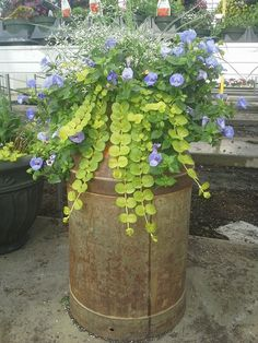 An old-fashioned milk can planted with Summerwave Torenia, Creeping Jenny, and Diamond Frost