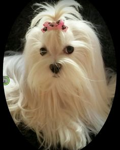 Really cute #maltese