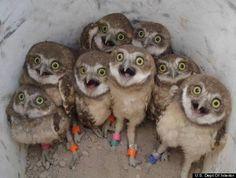 Baby Burrowing Owls - talk about deer in headlights