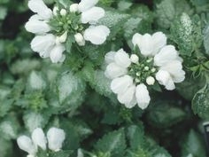 Dead nettle  is valued in the garden for their sprawling foliage that makes an excellent groundcover in a shady garden. Its 1-inch long flowers look like snapdragons and bloom in May and June.
