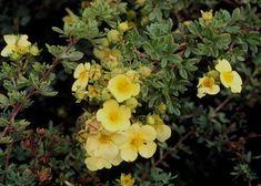 Potentilla fruticosa, Bush Cinquefoil - Plant Database - University of Connecticut