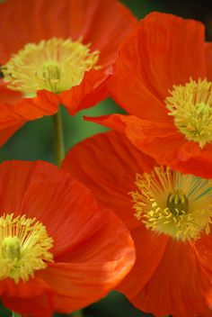 ~~Poppies by Bull Rider~ flowers