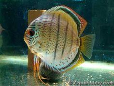 Symphysodon_aequifasciatus_6.jpg (17kb)