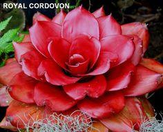 Neoregelia Royal Cordovon