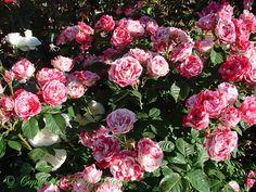 'Peppermint Twist' floribunda