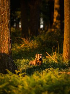 Badger at Sunset. Wildlife Photography by AdamClarkPhotography